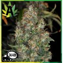 Skunk 1 Automatic Sensi Seeds