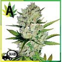 Super Skunk Automatic Sensi Seeds