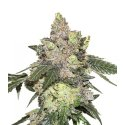 Girl Scout Cookies Granel